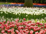 Image of various tulips