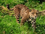 Image of a Jaguar